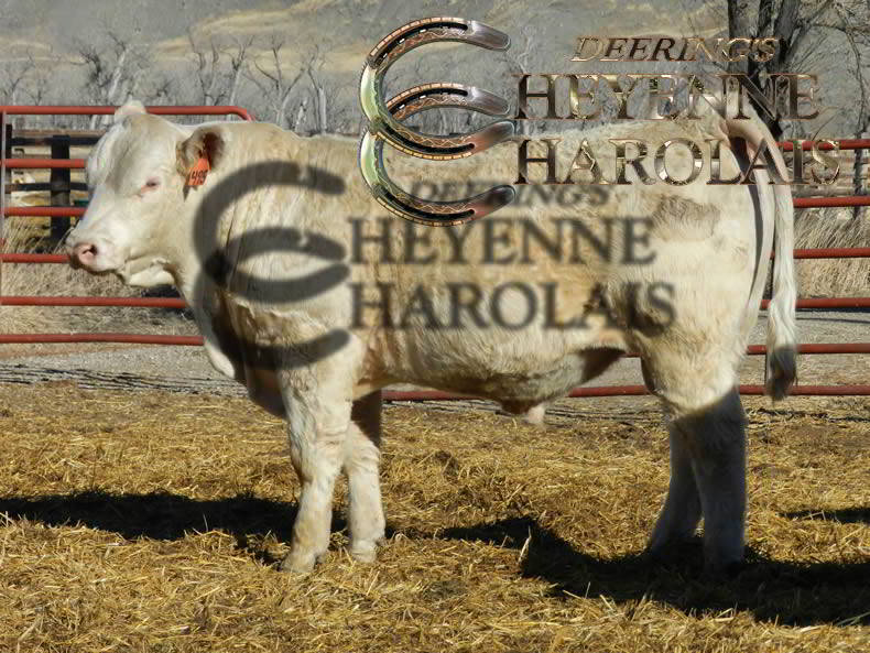 Cheyenne Charolais Yearling Bull Sale